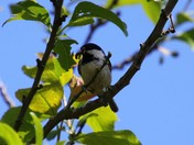 Coal tit with bug