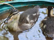 Orphan Ducklings - part 2
