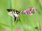 Hickling Swallowtails