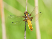 Broad-Bodied Chaser.