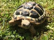 Timmy tortoise