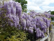WISTERIA AT ST.GILES ON THE HILL CHURCH  -  FINAL PART 3.