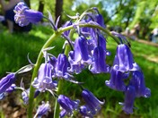 Bluebells in Haughley Park