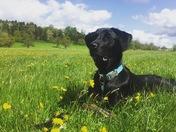Daffodils and a Dog