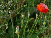 One Last Poppy Bloom Left