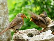 Robin feeding her fledgling.