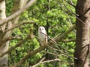 Barn Owl Oulton