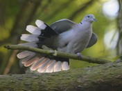 Pretty Collared Dove