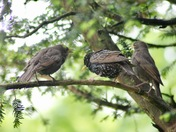 Just fledged baby starlings