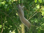 The grey squirrel.
