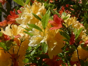 Colourful rhododendrens