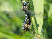 Mateing Dragonflies