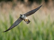 Hobby in flight
