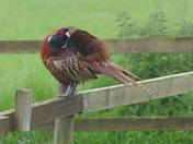 The pheasant.