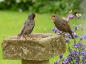 Young starling begs for mealworms.