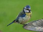 Blue tit has a bad hair day.