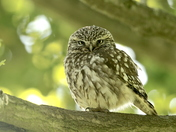 Little Owl enjoying the sun.