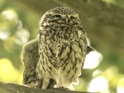 Little Owl enjoying the sun.