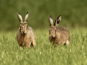 Two beautiful Hares.