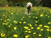 Oscar amongst the buttercups