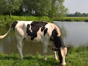 A Cow In Constable Country