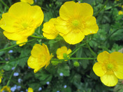 Buttercups are yellow
