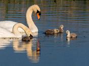 Strumpshaw Swan Family part 2