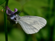 Wood White at Bucknell Woods.