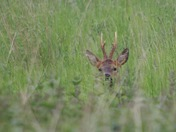 Deer in long grass