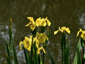 Mellow yellow flag irises