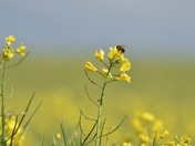Mellow yellow oil see rape with bee