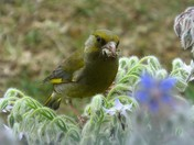 Gathering food for the baby greenfinch