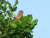 A kestrel hiding at besthorpe