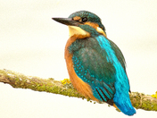 The beautiful colours of the King Fisher.