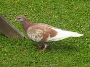 Brown & white pigeon
