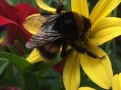 A huge beautiful bumble bee