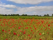 Poppy field Martlesham