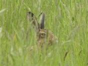 Hidden. Hare in a meadow