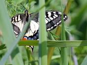 Hidden Swallowtail