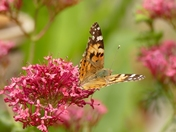 Painted Lady butterfly in the garden yesterday.