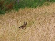 Hidden: Deer
