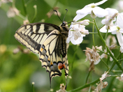 Norfolk's own Swallowtail