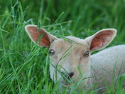 Young Lamb at Felbrigg