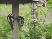A pair of great spotted woodpeckers