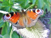 Got Wings --Peacock Butterfly at RSPB Garden Flatford Mill