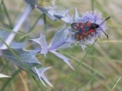 Got Wings - Six Spot Burnett Moth at Walberswick dunes
