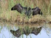 Got Wings - Cormorant drying wings at Strumpshaw Fen