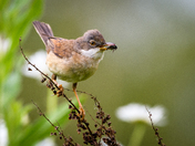 Whitethroat warbler