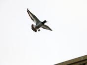 Oystercatchers Move In !