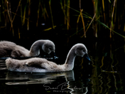 Cygnets at NW & Dilham Canal